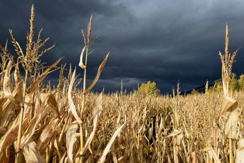 Corn and storm